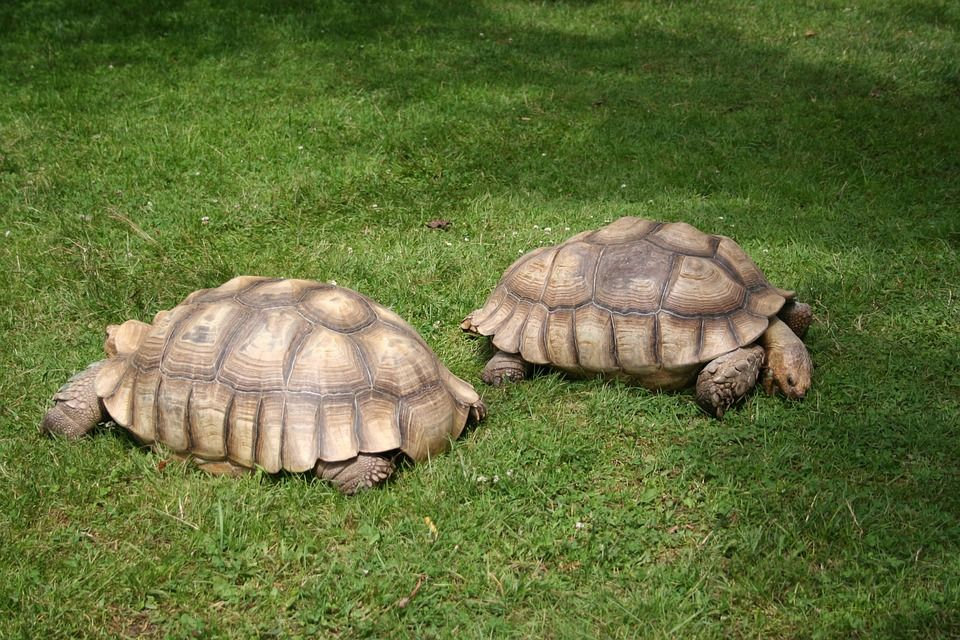 tartarughe giganti a confronto